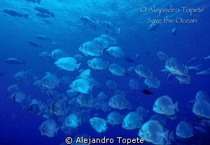 School  of Bat Fish, Sharm il Sheik by Alejandro Topete 